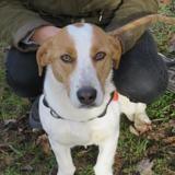 Molo, Chiot croisé / autre (beagle) à adopter