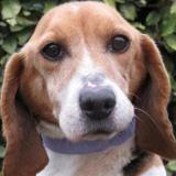 Vania, Chien croisé / autre (beagle) à adopter