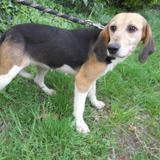 Doline, Chien croisé / autre (beagle) à adopter