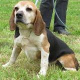 Toudou, Chien croisé / autre (beagle) à adopter