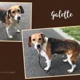 Galette (réservée), Chien croisé / autre (beagle) à adopter