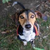 Dobby, Chiot croisé / autre (beagle) à adopter