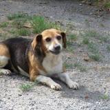 Candy, Chien croisé / autre (beagle) à adopter