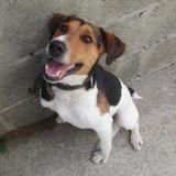 Banzai, Chien croisé / autre (beagle) à adopter