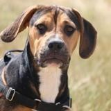 Paddy haa22443, Chiot croisé / autre (beagle) à adopter
