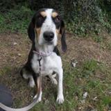 Astuce, Chien croisé / autre (beagle) à adopter