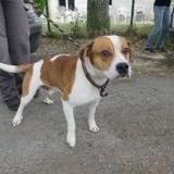 Diego, Chien croisé / autre (beagle) à adopter