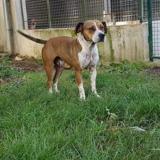 Pomsie, Chien croisé / autre (beagle) à adopter