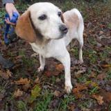 Ally, Chien croisé / autre (beagle) à adopter