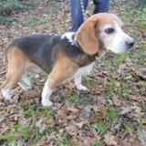 Bacchus, Chien croisé / autre (beagle) à adopter
