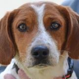 Ronan, Chien croisé / autre (beagle) à adopter