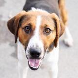 Harry, Chien croisé / autre (beagle) à adopter