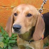 Pif, Chien croisé / autre (beagle) à adopter