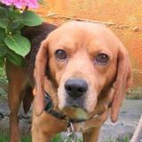 Manny, Chien croisé / autre (beagle) à adopter