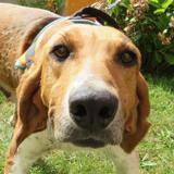 Nina, Chien croisé / autre (beagle) à adopter