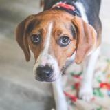Laska, Chien croisé / autre (beagle) à adopter