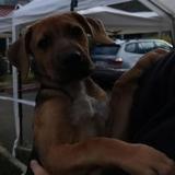 Youpi, Chiot croisé / autre (beagle/ berger) à adopter