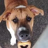 Super , Chiot croisé / autre (beagle/ berger) à adopter