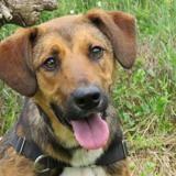 Corso, Chiot croisé / autre (beagle/ berger belge malinois) à adopter
