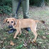 Paco, Chiot croisé / autre (beagle/ berger belge malinois) à adopter