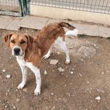 Rocket / réservée, Chiot croisé / autre (beagle/ border collie) à adopter