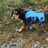 Nelsa (reservee), Chien croisé / autre (beagle/ bruno du jura) à adopter