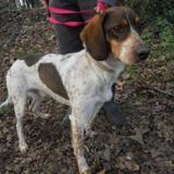 Link, Chien croisé / autre (beagle/ epagneul) à adopter
