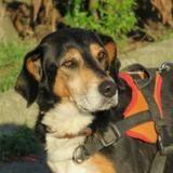 Paco, Chien croisé / autre (beagle/ epagneul) à adopter