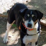 Gruz, Chien croisé / autre (beagle/ griffon) à adopter