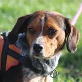 Maya, Chien croisé / autre (beagle/ griffon) à adopter