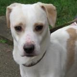 Neo, Chien croisé / autre (beagle/ jack russel terrier) à adopter