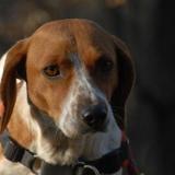 Mirza, Chien croisé / autre (beagle/ teckel) à adopter
