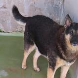 Zorro, Chien croisé / autre (berger) à adopter