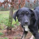 Tomo paa17340, Chiot croisé / autre (berger) à adopter