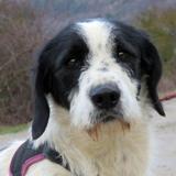 Rocky, Chien croisé / autre (berger) à adopter