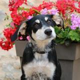 Max haa21945, Chiot croisé / autre (berger) à adopter