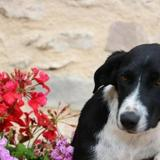 Carla haa21946, Chiot croisé / autre (berger) à adopter