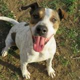 Max, Chien croisé / autre (berger) à adopter