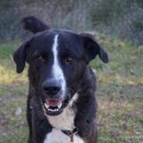 Maxwell, Chien croisé / autre (berger) à adopter