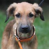 Ben chao10369, Chiot croisé / autre (berger) à adopter