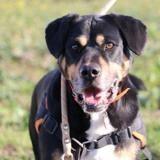 Luigi haa22191, Chien croisé / autre (berger) à adopter