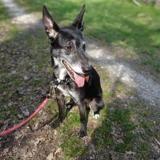 Lola, Chien croisé / autre (berger) à adopter