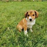 Shaya, Chiot croisé / autre (berger) à adopter