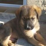 Gary, Chiot croisé / autre (berger) à adopter
