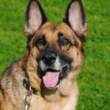 Lola, Chien croisé / autre (berger allemand) à adopter