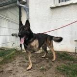 Coyote, Chien croisé / autre (berger allemand) à adopter