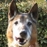 Lulu, Chien croisé / autre (berger allemand) à adopter
