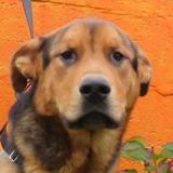 Saxo, Chien croisé / autre (berger allemand) à adopter