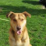 Lasko, Chien croisé / autre (berger allemand) à adopter
