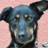Zara, Chien croisé / autre (berger allemand) à adopter